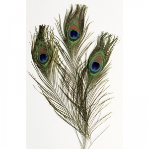 EXTRA LONG PEACOCK FEATHERS